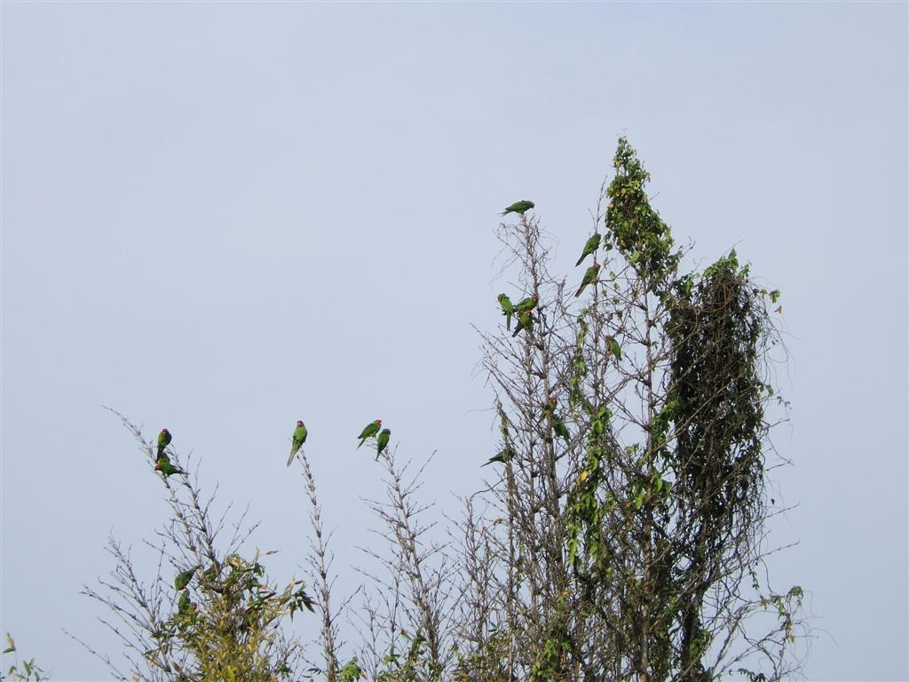 Wild parrots of Barranco