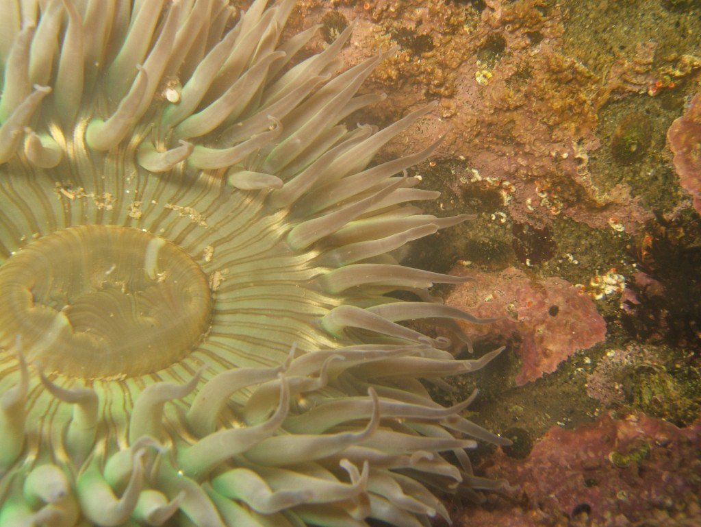 Tide pool anemone