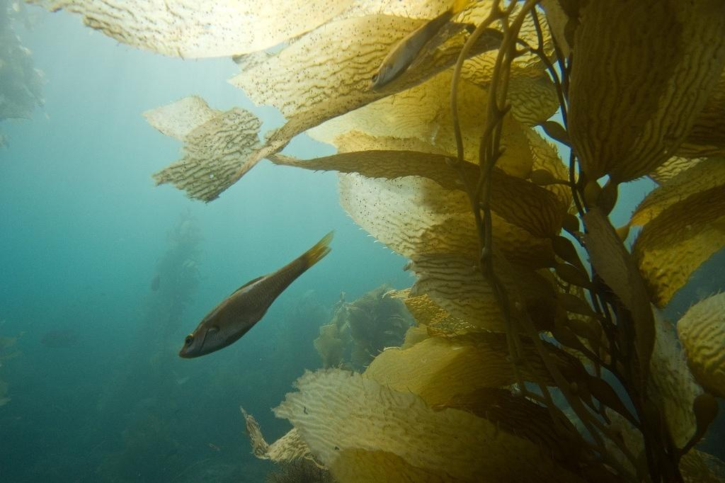 Kelp perch