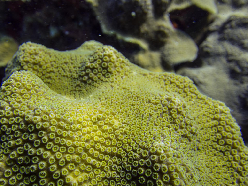 Yellow-green coral
