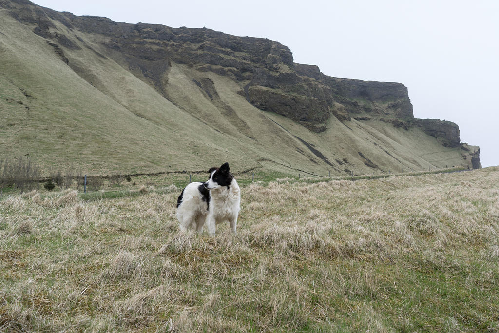 Dog near Reynisfjara