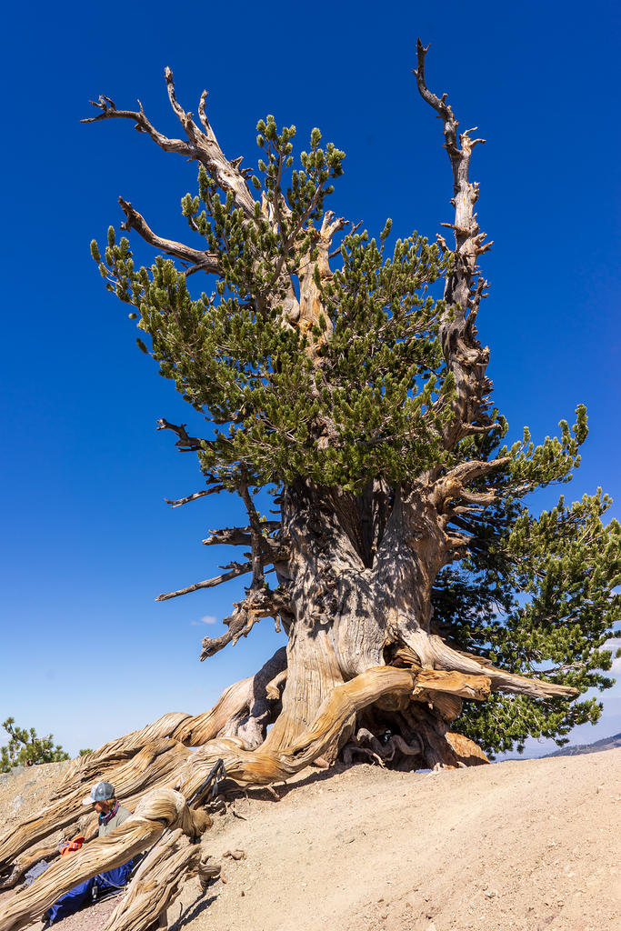 Wally Waldron Tree, a 1500 year old Limber Pine