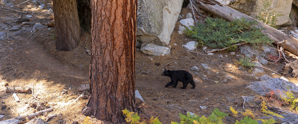 Black bear walking Rae Lakes Loop trail along Paradise Valley