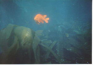 A garibaldi in the kelp at the cove