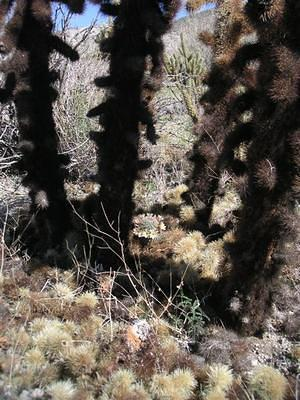 Cactus dropping spiny babies