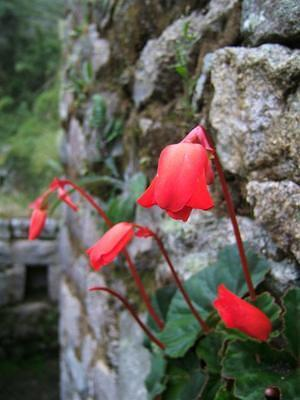 Red bell flowers growing out of a wall at Wiñawayna