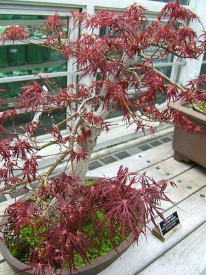Bonsai at Brooklyn Botanical Gardens