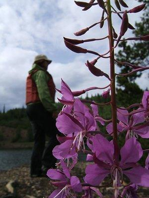 Anna and some fireweed on the rock island