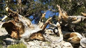 Twisted old bristlecone pine stumps