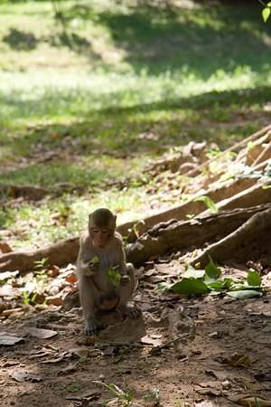 Angkor monkey