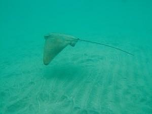 Bat ray swimming