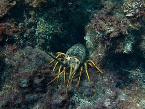 One of many lobsters hiding the rocks