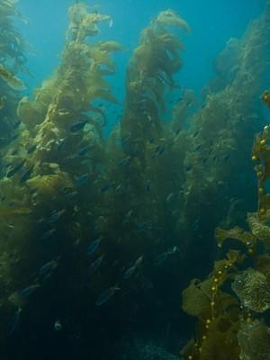 School of fish in the kelp