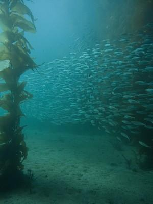 School of fish swimming through the kelp forest