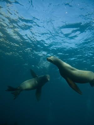 Two sea lions near the surface