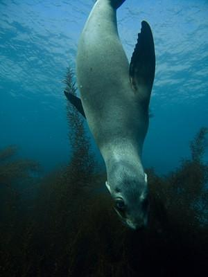A curious sea lion