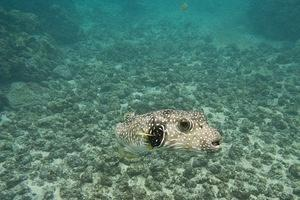 Stripebelly pufferfish