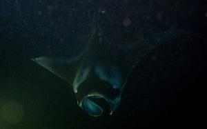 Top of a male manta ray