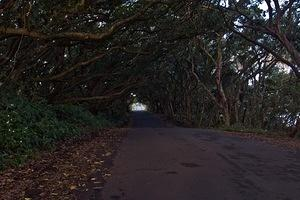 Tree covered section of Kalapana-Kapoho Road