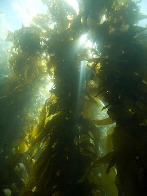 Sun through the kelp