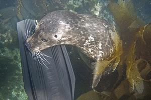 A harbor seal checking out my fin