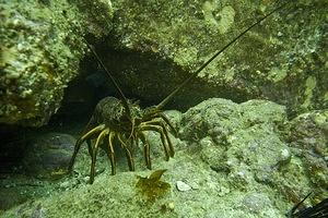 A curious spiny lobster