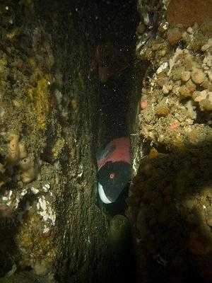 Sheephead and morey eel in a crack