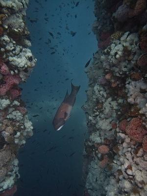 Male sheephead on patrol
