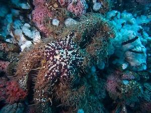 Large purple starfish covered in brittle stars