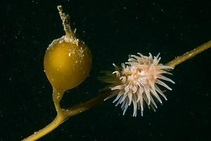 Small anemone on a strand of kelp