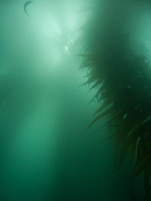 Milky sunlight in the kelp