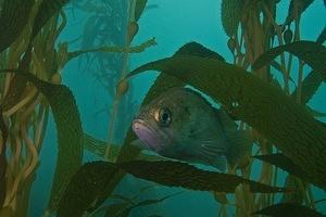 Kelp rockfish in the kelp