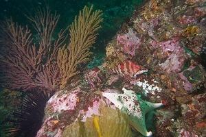 Gorgonian and greenling
