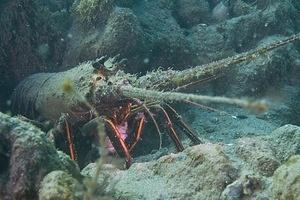 A spiny lobster feeding