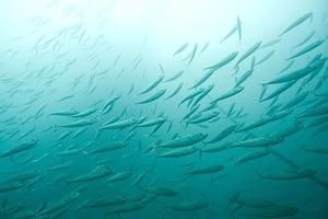 Sardines and the anchor line