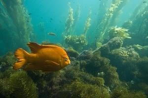 Garibaldi and kelp