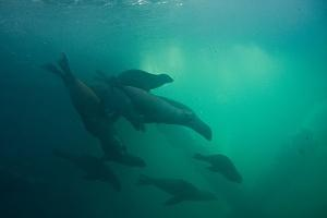 A pack of sea lions roaming the oil rig supports