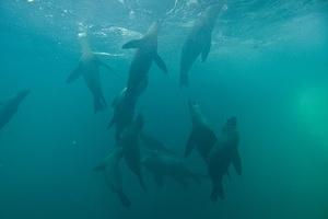 Sea lions coming up for air