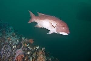 Sheephead over a support