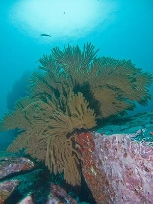 Golden gorgonian