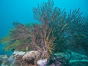 Gorgonians (sea fans)