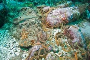 Brittle stars and a blackeyed goby