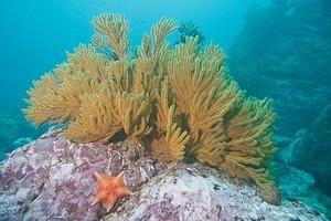 Gorgonian and starfish