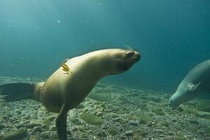 Upside down sea lion greeting