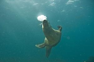 Sea lion blowing bubbles