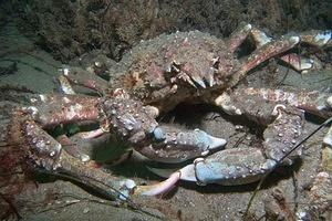A sheep crab