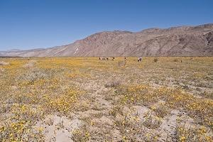 A sea of yellow on the desert floor