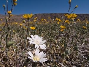 Desert Chicory and sunflowers