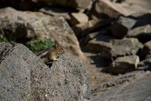 Tourist fed - fatty chipmunk