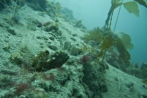 Fringehead keeping watch